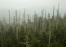 Dead Fraser Firs, Clingmans Dome. Great Smoky Mountains National Park stock photography
