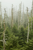 Dead Fraser Firs, Clingmans Dome. Great Smoky Mountains National Park royalty free stock image