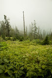 Dead Fraser Firs, Wildflowers. Clingmans Dome, Great Smoky Mountains NP Stock Photos