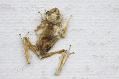 Dead frog on the wall Royalty Free Stock Image