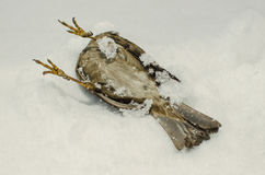 Dead frozen sparrow Stock Photo