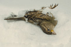 Dead frozen sparrow Royalty Free Stock Image