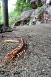 Dead giant centipede on the ground Stock Photography