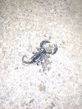 Dead Gigantic Black Scorpion. Dead   scorpion, insects, arachnids, reptiles, amphibians stock photo