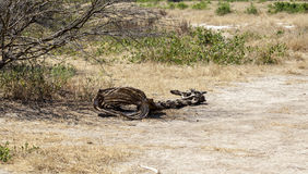 Dead Giraffe By The Road Royalty Free Stock Photography