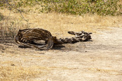 Dead Giraffe By The Road Stock Images