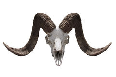 Dead goat's head. Old goat's dead horny head Royalty Free Stock Image