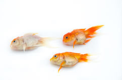 Dead gold fish Royalty Free Stock Images