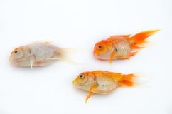 Dead gold fish Stock Image