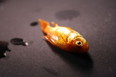 Dead goldfish on black background Royalty Free Stock Photography