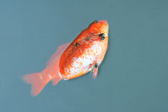 Dead goldfish Stock Photos