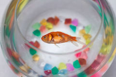 Dead Goldfish Royalty Free Stock Photography
