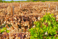 Dead Grape Vines Royalty Free Stock Photography