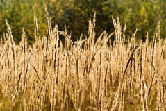 Dead grass in the field Stock Image