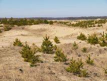 Dead grass and small spruces on the sand hills Stock Image