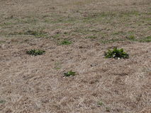 Dead grass and weeds. Dead grass and green weeds Stock Photo