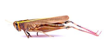 Dead grasshopper Stock Photo