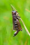 Dead Grasshopper close-up Royalty Free Stock Photo