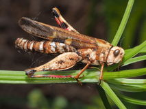 Dead grasshopper Royalty Free Stock Image