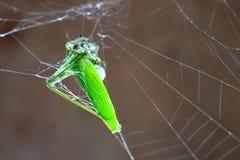 Dead grasshopper Royalty Free Stock Photo