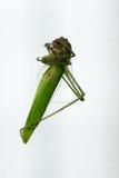 Dead grasshopper Stock Photo