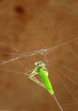 Dead grasshopper Stock Photos