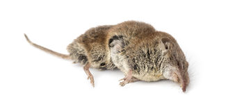 Dead Greater white-toothed shrew, Crocidura russula Stock Photography