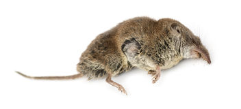 Dead Greater white-toothed shrew, Crocidura russula, isolated Royalty Free Stock Photo