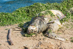 Dead green turtle Royalty Free Stock Photography