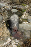 Dead grey seal. Stock Photo