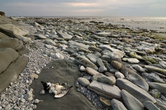 Dead gull. A Dead gull on a rocky beach Royalty Free Stock Photography