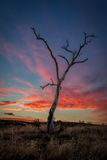 Dead Gum Tree at Sunset, Sunbury Victoria, March 2017. Dead Gum Tree at Sunset in rural Victoria, Australia stock photos