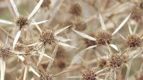 Dry flower thistle flower. Dead Headed Thistle flowers in park stock video footage