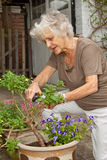 Dead-Heading. Senior lady gardener pruning and dead-heading her potted plants Royalty Free Stock Photo