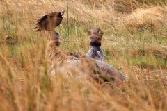 Dead Hippo - Okavango Delta - Moremi N.P. Royalty Free Stock Image