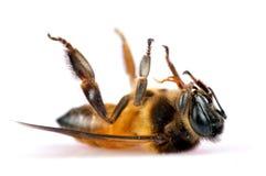 Dead honey bee. Macro over white background Stock Photos