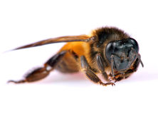 Dead honey bee Royalty Free Stock Photos