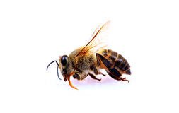 Dead honey bee Stock Photo