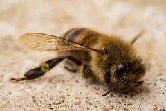Dead Honey Bee stock images