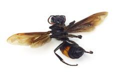 Dead hornet Royalty Free Stock Image