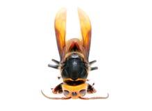 Dead hornet Stock Images