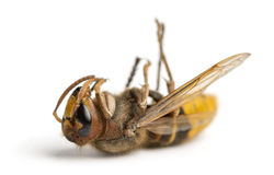Dead Hornet lying on its back, isolated Royalty Free Stock Image