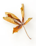 Dead Horse Chestnut Leaf Stock Images