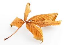 Dead Horse Chestnut Leaf Stock Photos