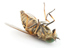Dead horsefly, isolated Royalty Free Stock Photos