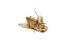 Dead horsefly. Isolated ower white background Stock Images
