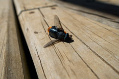 Dead horsefly. A dead horsefly lays in wood floor Stock Image