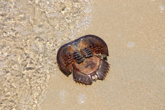 Dead Horseshoe Crab on sand beach Stock Images