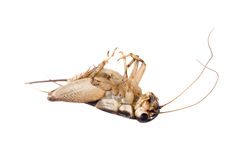 Dead House Cricket 09-01 Stock Photography
