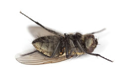Dead house fly Royalty Free Stock Photos